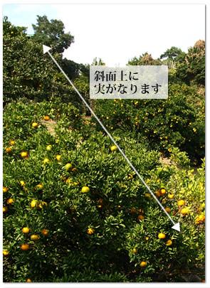 風光明媚な須崎市浦ノ内立目地区で栽培されています